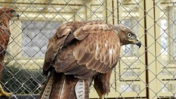 Long-legged Buzzard (Buteo rufinus) - Kızıl Şahin