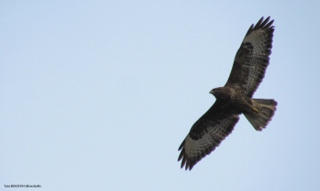 Common Buzzard (Buteo buteo) - Şahin