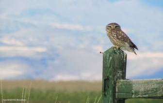 Little Owl (Athene noctua) - Kukumav