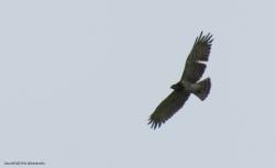 Yılan Kartalı (Short-toed Eagle)