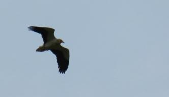 Küçük Akbaba - Egyptian Vulture