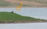 Akkuyruklu Kartal - White-tailed Eagle