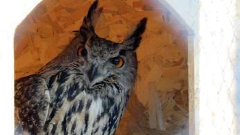 Puhu - Eagle Owl