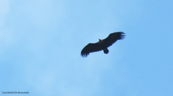 Kara Akbaba - Black Vulture