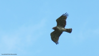 Yılan Kartalı - Short-toed Eagle